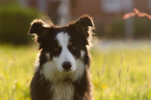 border-collie-700810_1280